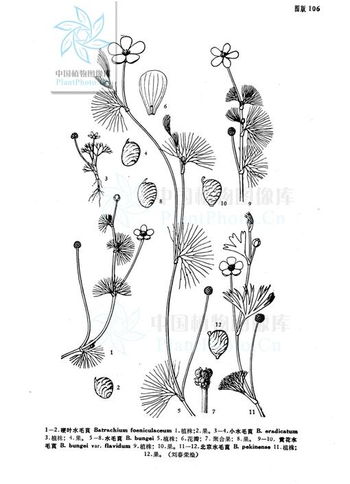 沉水植物专题 5 毛茛科沉水植物